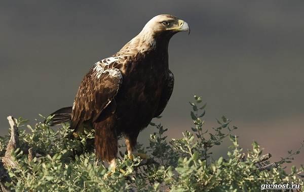 Виды-орлов-их-особенности-названия-образ-жизни-и-фото-птиц-7