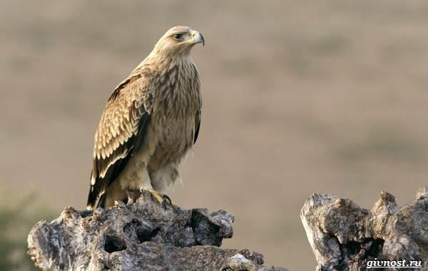 Виды-орлов-их-особенности-названия-образ-жизни-и-фото-птиц-8