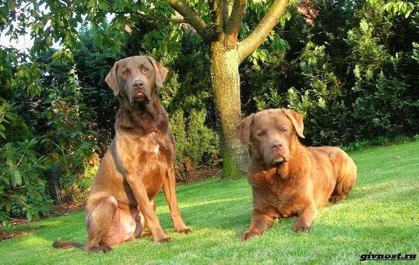 Чесапик-бей-ретривер-порода-собак-Описание-особенности-уход-и-цена-11
