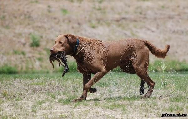 Чесапик-бей-ретривер-порода-собак-Описание-особенности-уход-и-цена-2