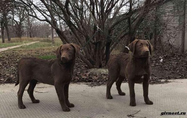 Чесапик-бей-ретривер-порода-собак-Описание-особенности-уход-и-цена-3