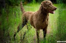 Чесапик-бей-ретривер порода собак. Описание, особенности, уход и цена