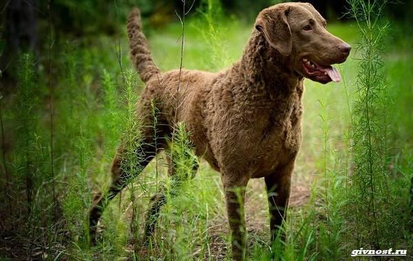 Чесапик-бей-ретривер-порода-собак-Описание-особенности-уход-и-цена-7
