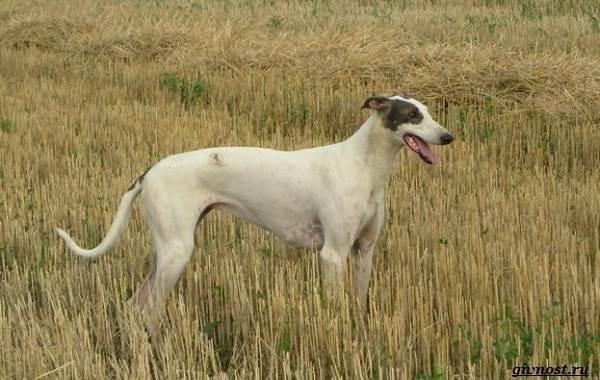 Хортая-борзая-собака-Описание-особенности-виды-и-цена-породы-14