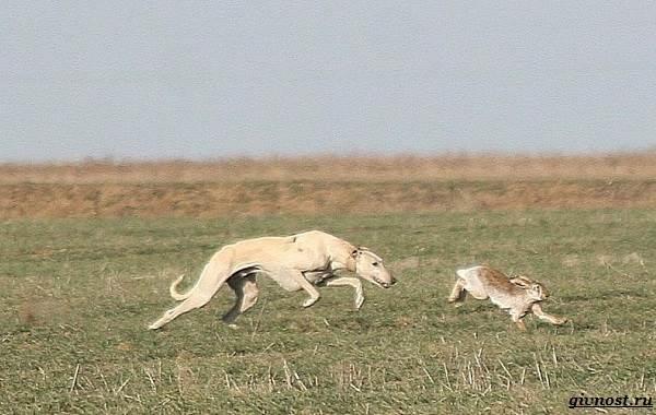 Хортая-борзая-собака-Описание-особенности-виды-и-цена-породы-19