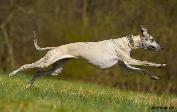 Хортая-борзая-собака-Описание-особенности-виды-и-цена-породы-2