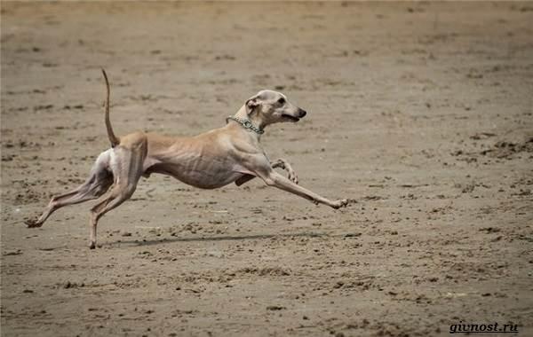 Хортая-борзая-собака-Описание-особенности-виды-и-цена-породы-20