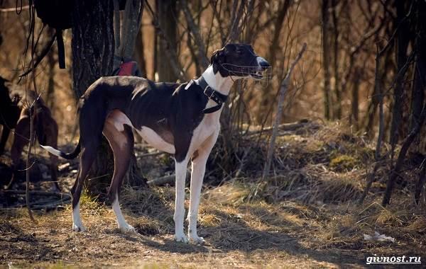 Хортая-борзая-собака-Описание-особенности-виды-и-цена-породы-3