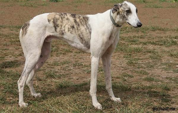 Хортая-борзая-собака-Описание-особенности-виды-и-цена-породы-7
