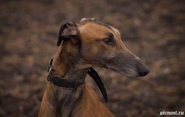 Хортая-борзая-собака-Описание-особенности-виды-и-цена-породы-8
