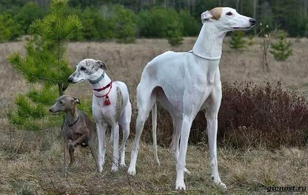 Хортая-борзая-собака-Описание-особенности-виды-и-цена-породы-9