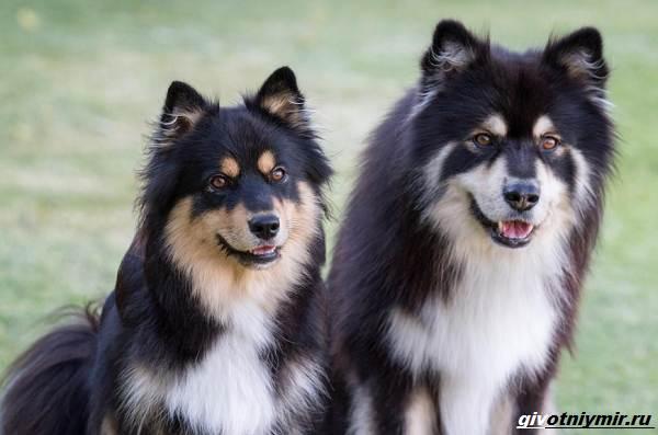 Лаппхунд-порода-собак-Особенности-характер-1