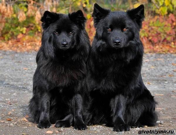 Лаппхунд-порода-собак-Особенности-характер-3