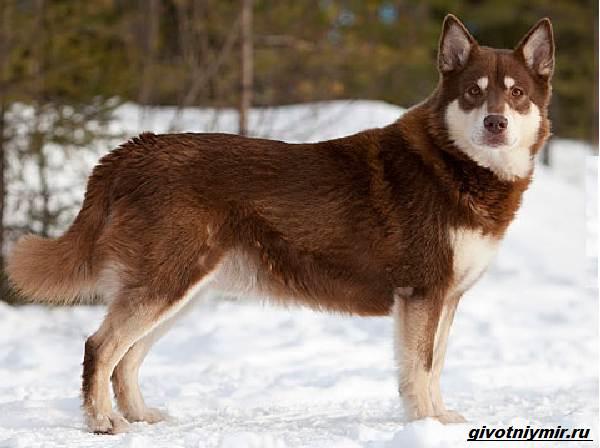 Лаппхунд-порода-собак-Особенности-характер-4