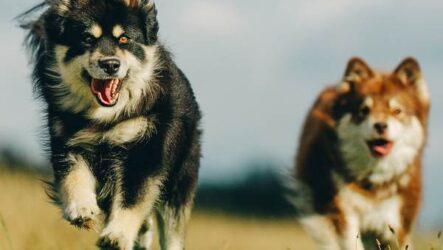 Лаппхунд — порода собак. Особенности, характер
