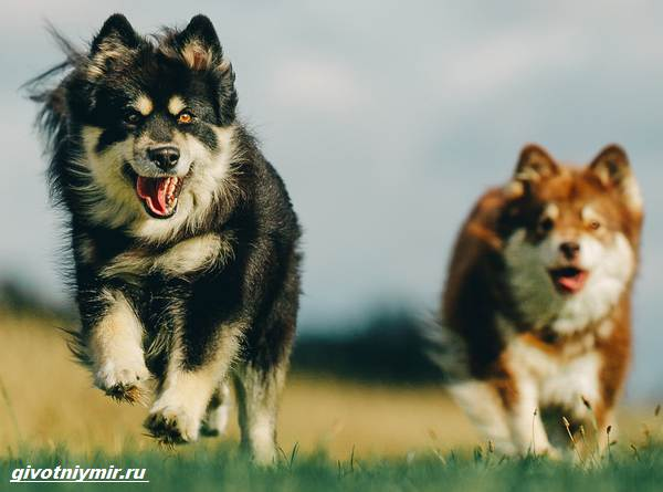 Лаппхунд-порода-собак-Особенности-характер-6