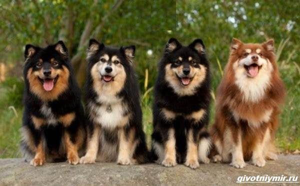 Лаппхунд-порода-собак-Особенности-характер-8