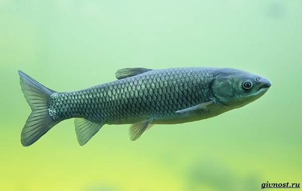Пресноводные-рыбы-их-виды-названия-особенности-и-среда-обитания-10