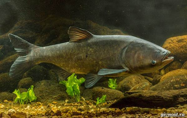 Пресноводные-рыбы-их-виды-названия-особенности-и-среда-обитания-11