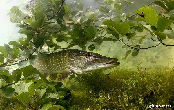 Пресноводные-рыбы-их-виды-названия-особенности-и-среда-обитания-12