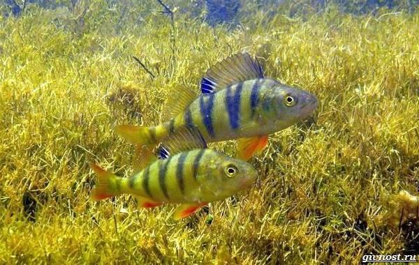 Пресноводные-рыбы-их-виды-названия-особенности-и-среда-обитания-13