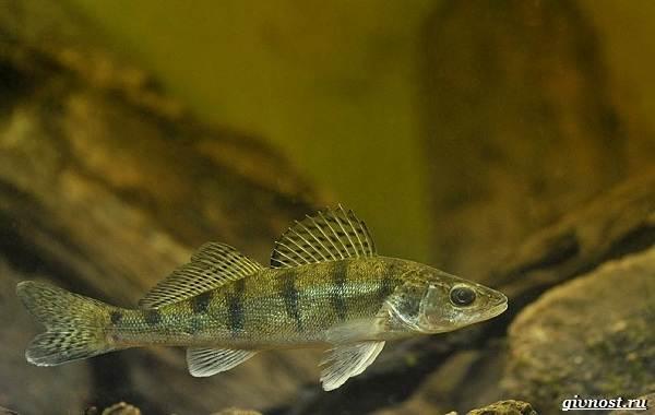 Пресноводные-рыбы-их-виды-названия-особенности-и-среда-обитания-15