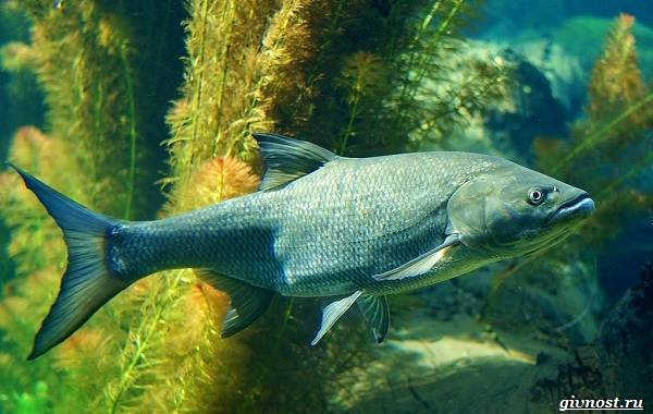Пресноводные-рыбы-их-виды-названия-особенности-и-среда-обитания-16