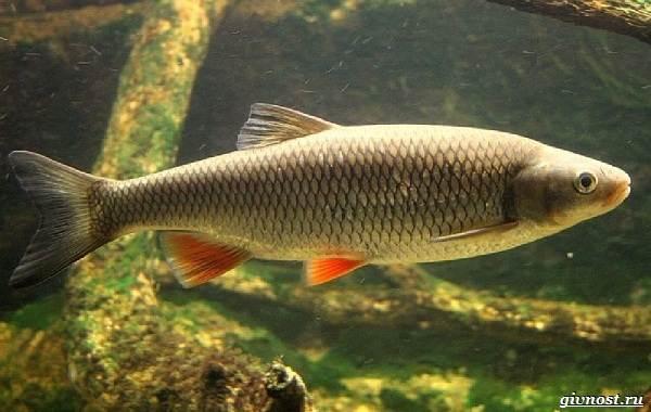 Пресноводные-рыбы-их-виды-названия-особенности-и-среда-обитания-17