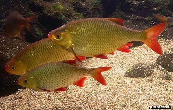 Пресноводные-рыбы-их-виды-названия-особенности-и-среда-обитания-7