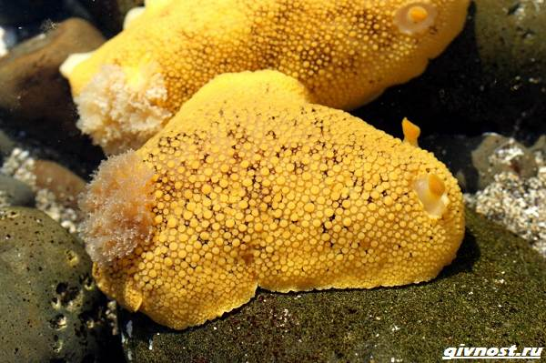 Морской-лимон-моллюск-описание-особенности-и-среда-обитания-2