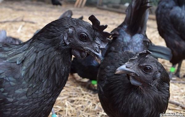 Ухейилюй-куры-чёрная-китайская-порода-несущая-зелено-бирюзовые-яйца-19