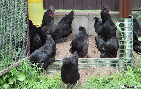 Ухейилюй-куры-чёрная-китайская-порода-несущая-зелено-бирюзовые-яйца-7